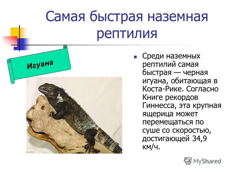 Самая быстрая наземная рептилия Среди наземных рептилий самая быстрая черная игуана, обитающая в Коста-Рике. Согласно Книге рекордов Гиннесса, эта крупная ящерица может перемещаться по суше со скоростью, достигающей 34,9 км/ч. Игуана