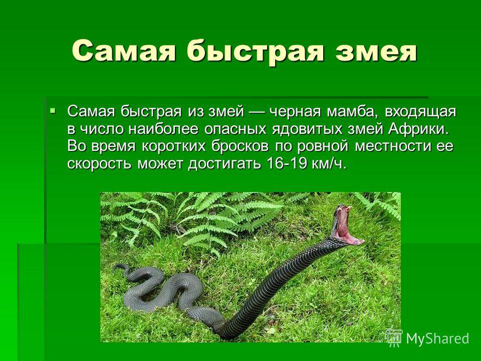 Самая быстрая змея Самая быстрая из змей черная мамба, входящая в число наиболее опасных ядовитых змей Африки. Во время коротких бросков по ровной местности ее скорость может достигать 16-19 км/ч. Самая быстрая из змей черная мамба, входящая в число