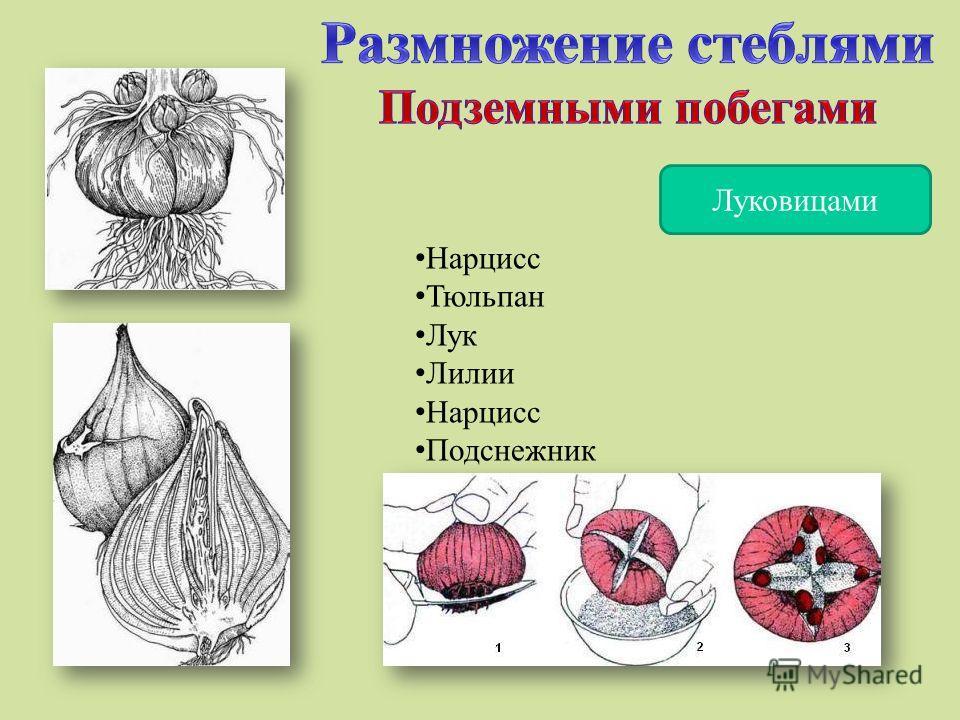 Луковицами Нарцисс Тюльпан Лук Лилии Нарцисс Подснежник