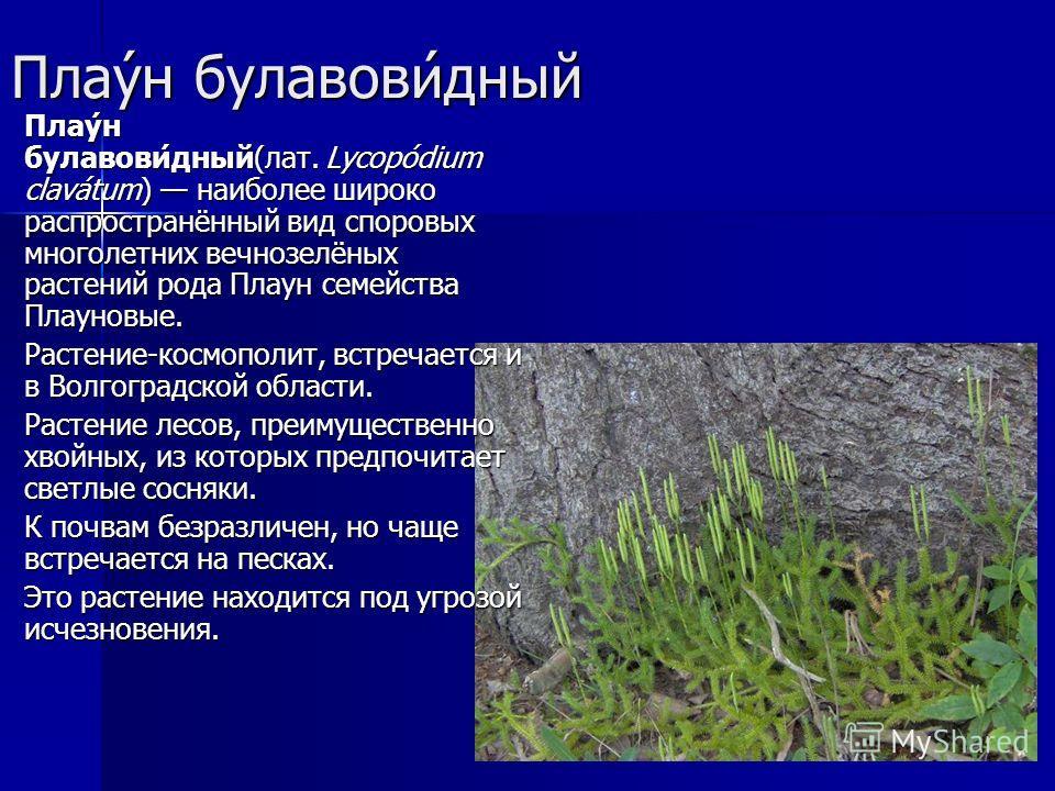 Плау́н булавови́дный Плау́н булавови́дный(лат. Lycopódium clavátum) наиболее широко распространённый вид споровых многолетних вечнозелёных растений рода Плаун семейства Плауновые. Плау́н булавови́дный(лат. Lycopódium clavátum) наиболее широко распрос