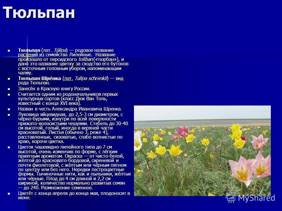 Тюльпан Тюльпан (лат. Túlipa) родовое название растений из семейства Лилейные. Название произошло от персидского toliban («тюрбан»), и дано это название цветку за сходство его бутонов с восточным головным убором, напоминающим чалму. Тюльпан (лат. Túl