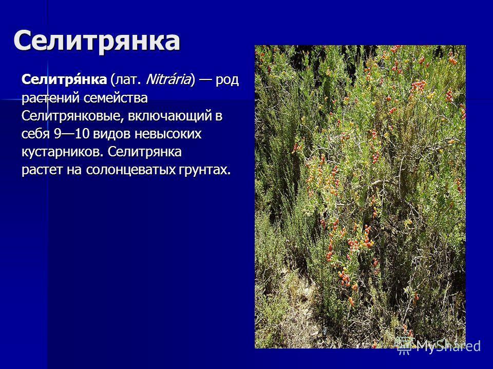 Селитрянка Селитря́нка (лат. Nitrária) род растений семейства Селитрянковые, включающий в себя 910 видов невысоких кустарников. Селитрянка растет на солонцеватых грунтах.
