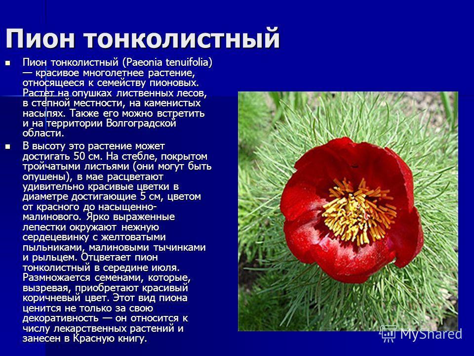 Пион тонколистный Пион тонколистный (Paeonia tenuifolia) красивое многолетнее растение, относящееся к семейству пионовых. Растет на опушках лиственных лесов, в степной местности, на каменистых насыпях. Также его можно встретить и на территории Волгог