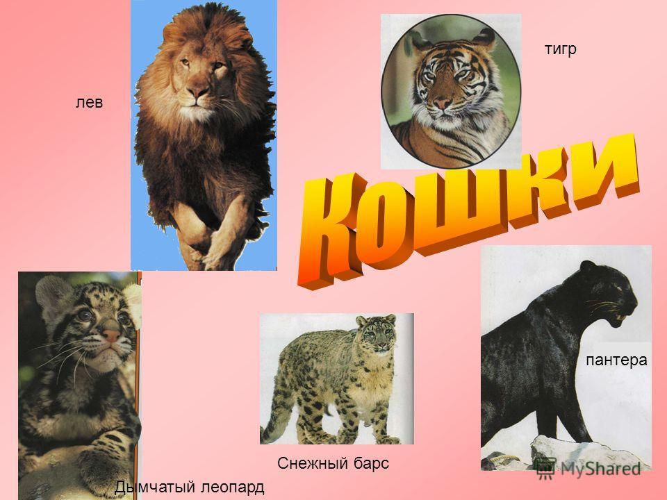 пантера Дымчатый леопард Снежный барс тигр лев