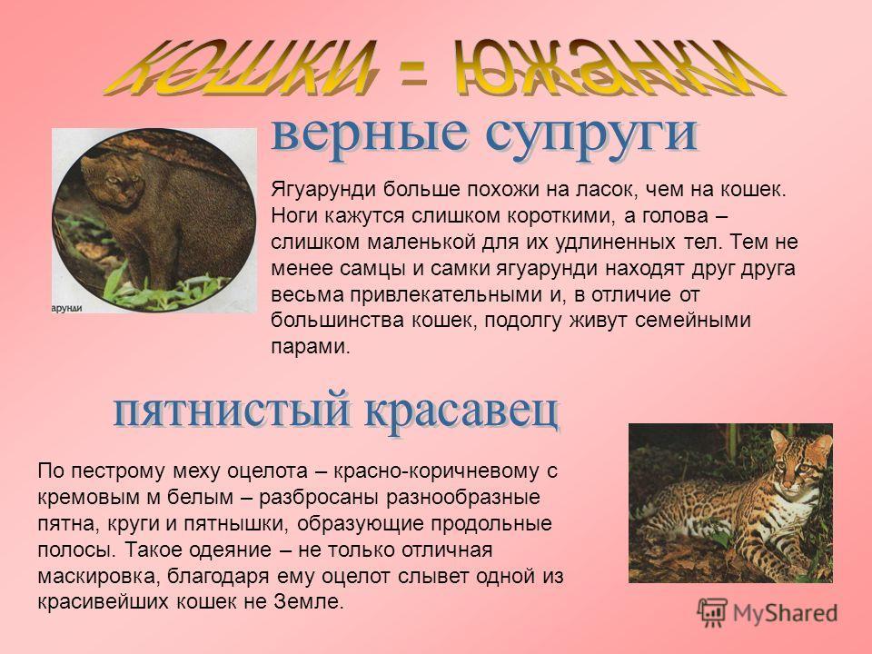 Ягуарунди больше похожи на ласок, чем на кошек. Ноги кажутся слишком короткими, а голова – слишком маленькой для их удлиненных тел. Тем не менее самцы и самки ягуарунди находят друг друга весьма привлекательными и, в отличие от большинства кошек, под