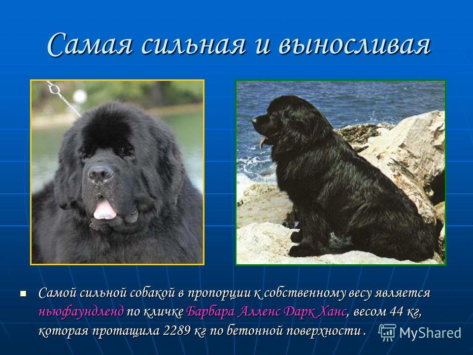 Самая сильная и выносливая Самой сильной собакой в пропорции к собственному весу является ньюфаундленд по кличке Барбара Алленс Дарк Ханс, весом 44 кг, которая протащила 2289 кг по бетонной поверхности. Самой сильной собакой в пропорции к собственном