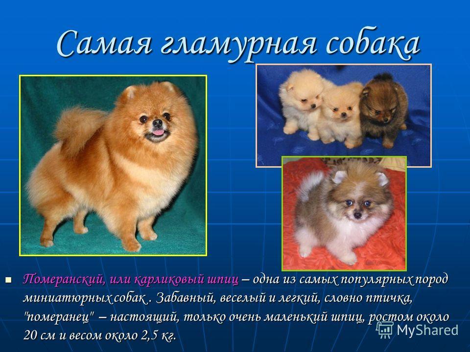 Самая гламурная собака Померанский, или карликовый шпиц – одна из самых популярных пород миниатюрных собак. Забавный, веселый и легкий, словно птичка,