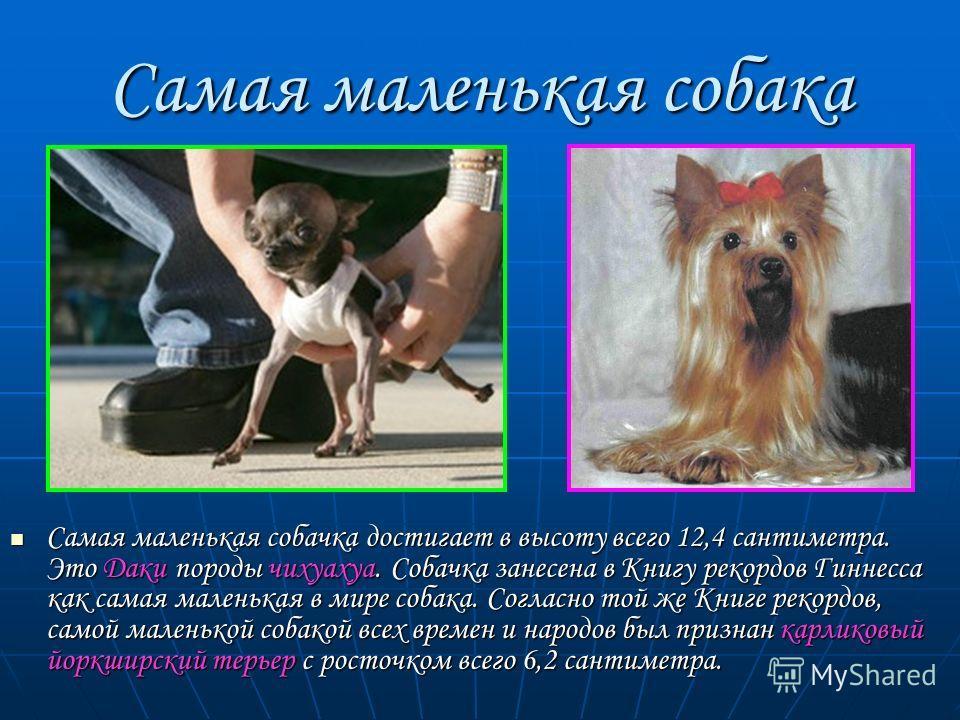Самая маленькая собачка достигает в высоту всего 12,4 сантиметра. Это Даки породы чихуахуа. Собачка занесена в Книгу рекордов Гиннесса как самая маленькая в мире собака. Согласно той же Книге рекордов, самой маленькой собакой всех времен и народов бы
