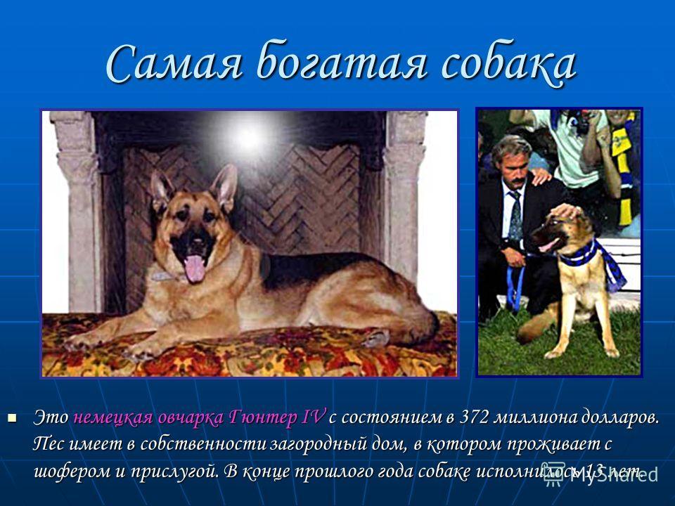 Самая богатая собака Это немецкая овчарка Гюнтер IV с состоянием в 372 миллиона долларов. Пес имеет в собственности загородный дом, в котором проживает с шофером и прислугой. В конце прошлого года собаке исполнилось 13 лет. Это немецкая овчарка Гюнте