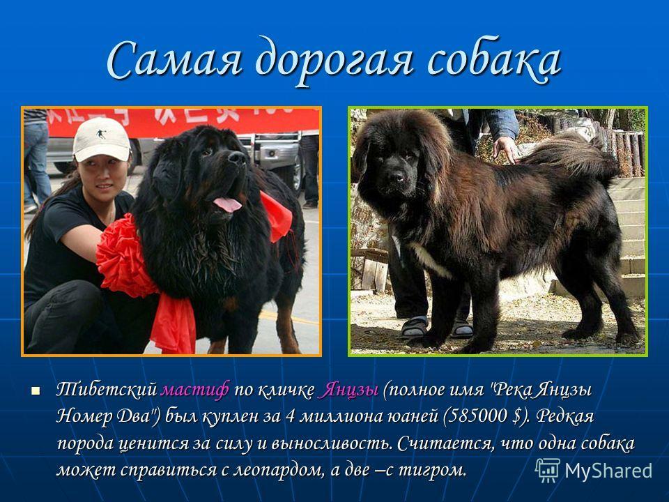 Самая дорогая собака Тибетский мастиф по кличке Янцзы (полное имя