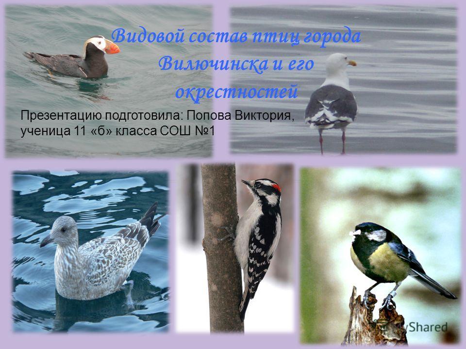 Видовой состав птиц города Вилючинска и его окрестностей Презентацию подготовила: Попова Виктория, ученица 11 «б» класса СОШ 1