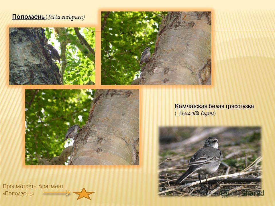 Камчатская белая трясогузка ( Motacilla lugens ) Поползень ( Sitta europaea) Просмотреть фрагмент «Поползень»