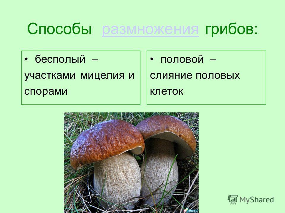 Способы размножения грибов:размножения бесполый – участками мицелия и спорами половой – слияние половых клеток