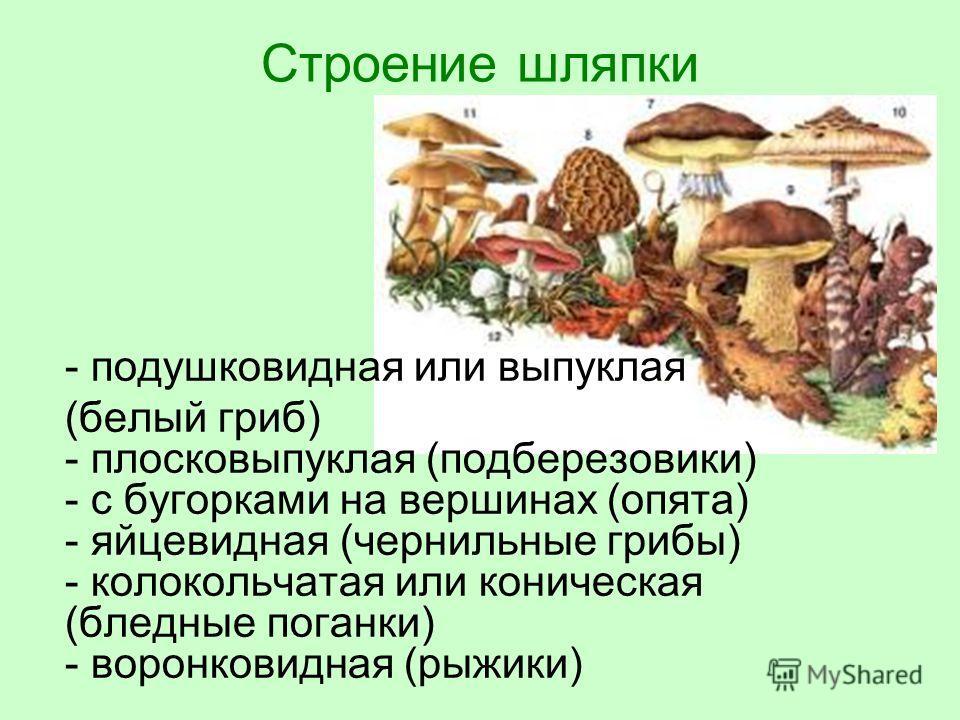 Строение шляпки - подушковидная или выпуклая (белый гриб) - плосковыпуклая (подберезовики) - с бугорками на вершинах (опята) - яйцевидная (чернильные грибы) - колокольчатая или коническая (бледные поганки) - воронковидная (рыжики)