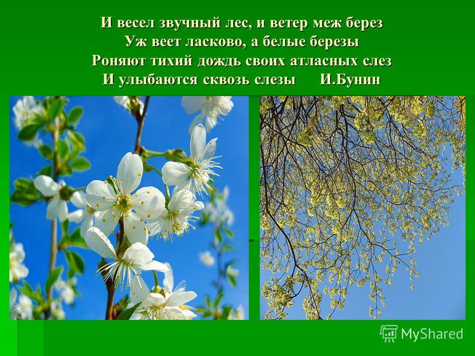 И весел звучный лес, и ветер меж берез Уж веет ласково, а белые березы Роняют тихий дождь своих атласных слез И улыбаются сквозь слезы И.Бунин