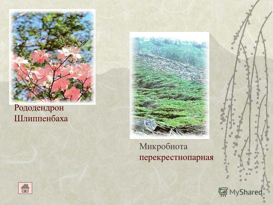 Кедр корейский Калопанакс семилопастый Тис остроконечный