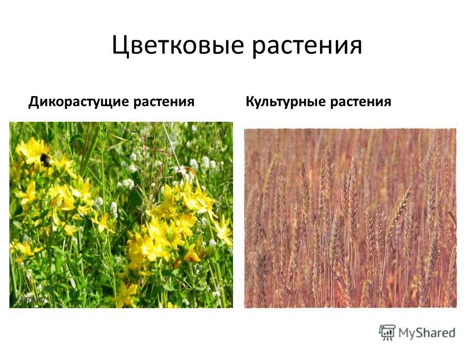 Цветковые растения Дикорастущие растенияКультурные растения