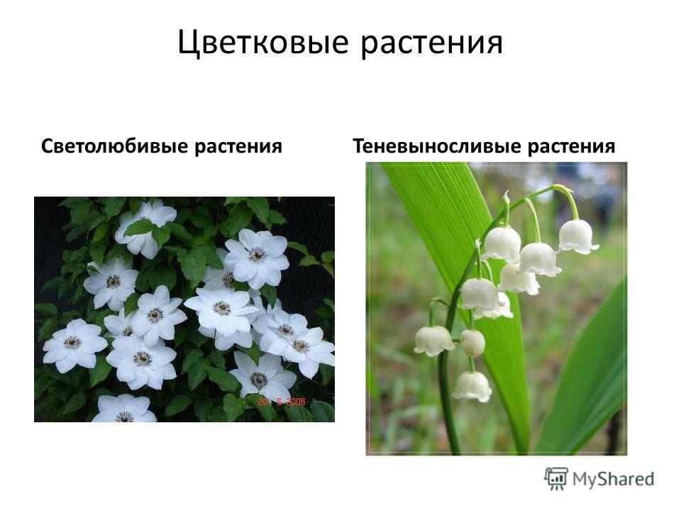 Цветковые растения Светолюбивые растенияТеневыносливые растения