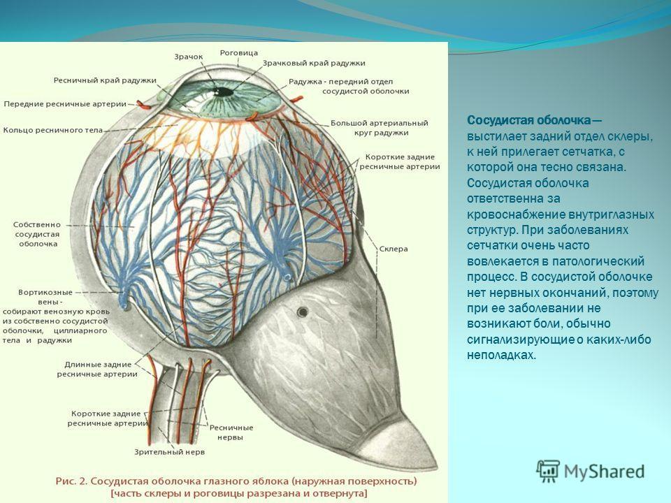 Сосудистая оболочка выстилает задний отдел склеры, к ней прилегает сетчатка, с которой она тесно связана. Сосудистая оболочка ответственна за кровоснабжение внутриглазных структур. При заболеваниях сетчатки очень часто вовлекается в патологический пр