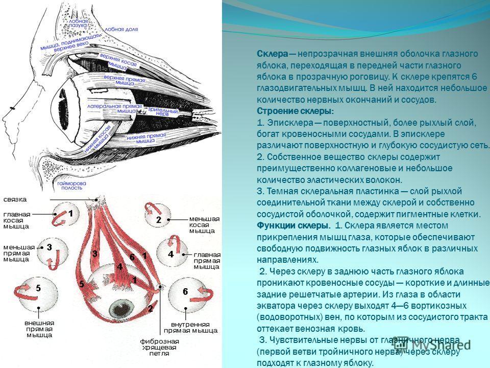 Склера непрозрачная внешняя оболочка глазного яблока, переходящая в передней части глазного яблока в прозрачную роговицу. К склере крепятся 6 глазодвигательных мышц. В ней находится небольшое количество нервных окончаний и сосудов. Строение склеры: 1