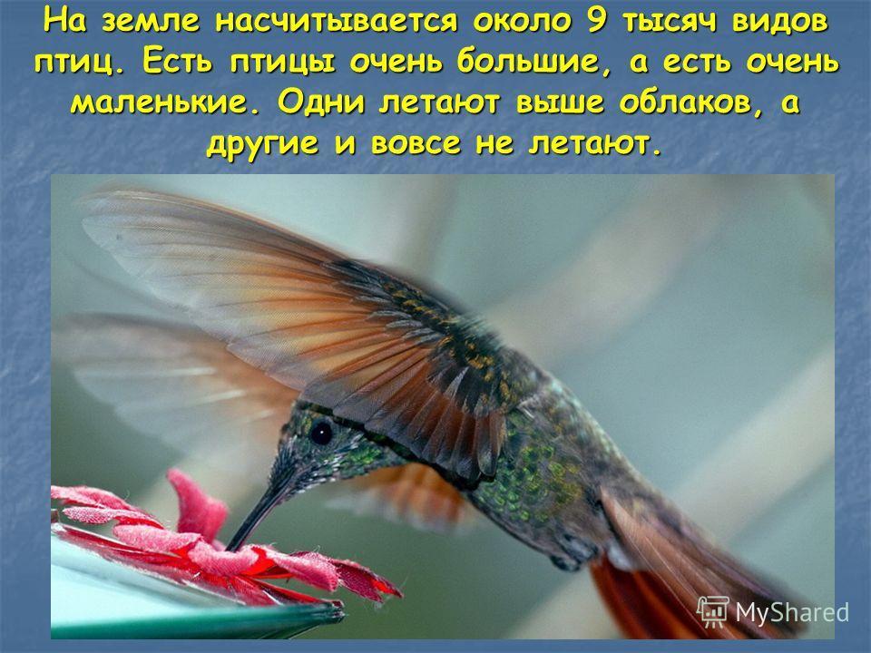 На земле насчитывается около 9 тысяч видов птиц. Есть птицы очень большие, а есть очень маленькие. Одни летают выше облаков, а другие и вовсе не летают.