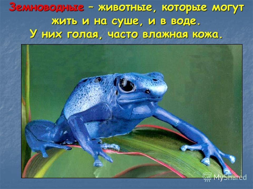 Земноводные – животные, которые могут жить и на суше, и в воде. У них голая, часто влажная кожа.