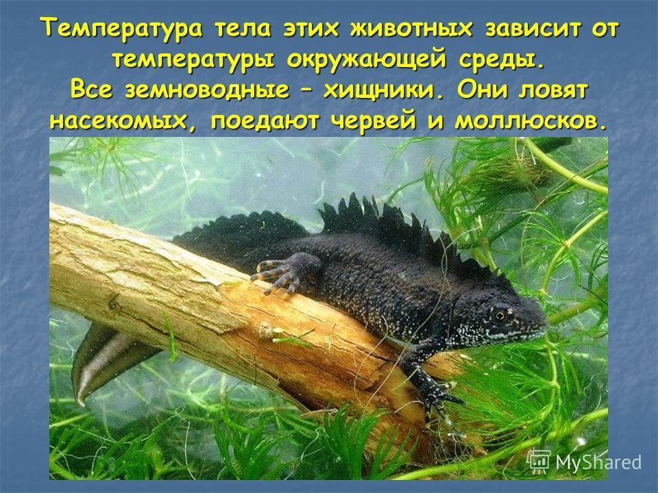 Температура тела этих животных зависит от температуры окружающей среды. Все земноводные – хищники. Они ловят насекомых, поедают червей и моллюсков.