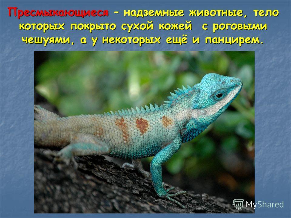 Пресмыкающиеся – надземные животные, тело которых покрыто сухой кожей с роговыми чешуями, а у некоторых ещё и панцирем.