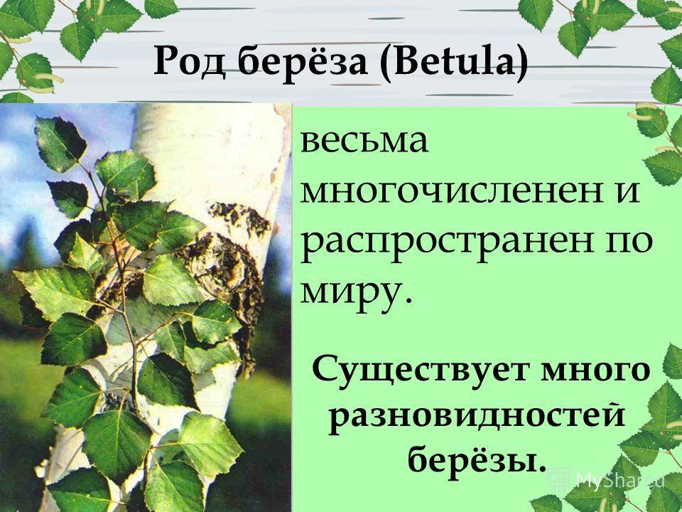 Род берёза (Betula) Существует много разновидностей берёзы. весьма многочисленен и распространен по миру.