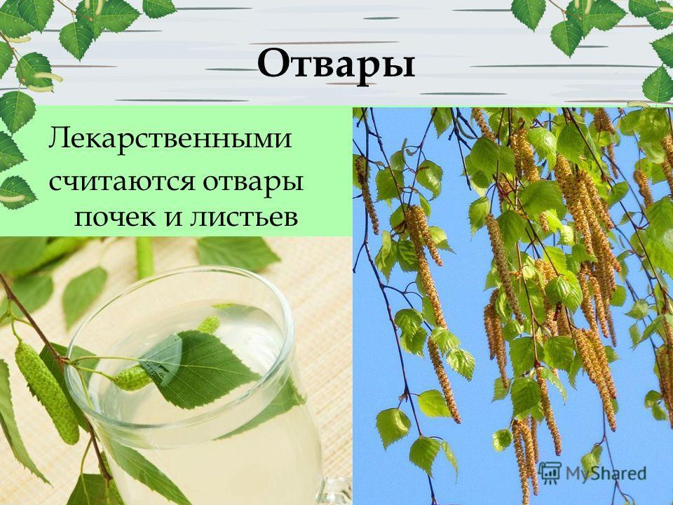 Отвары Лекарственными считаются отвары почек и листьев