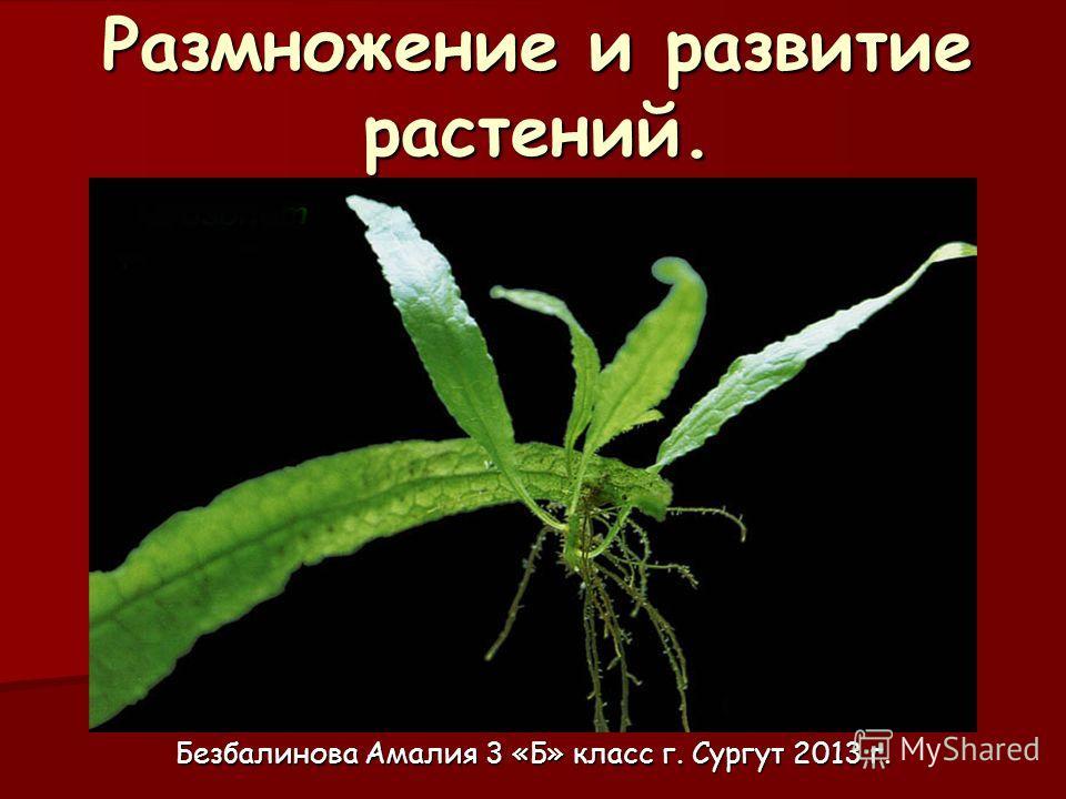 Размножение и развитие растений. Безбалинова Амалия 3 «Б» класс г. Сургут 2013 г.