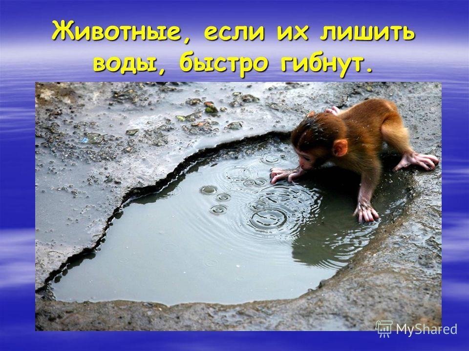 Животные, если их лишить воды, быстро гибнут.