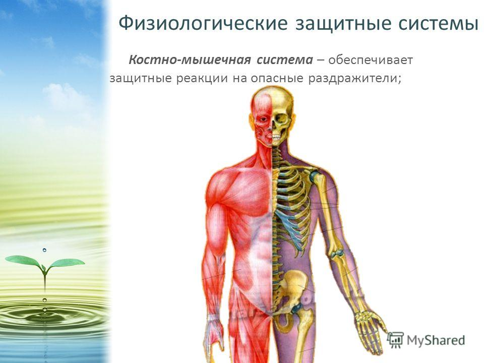 Физиологические защитные системы Костно-мышечная система – обеспечивает защитные реакции на опасные раздражители;