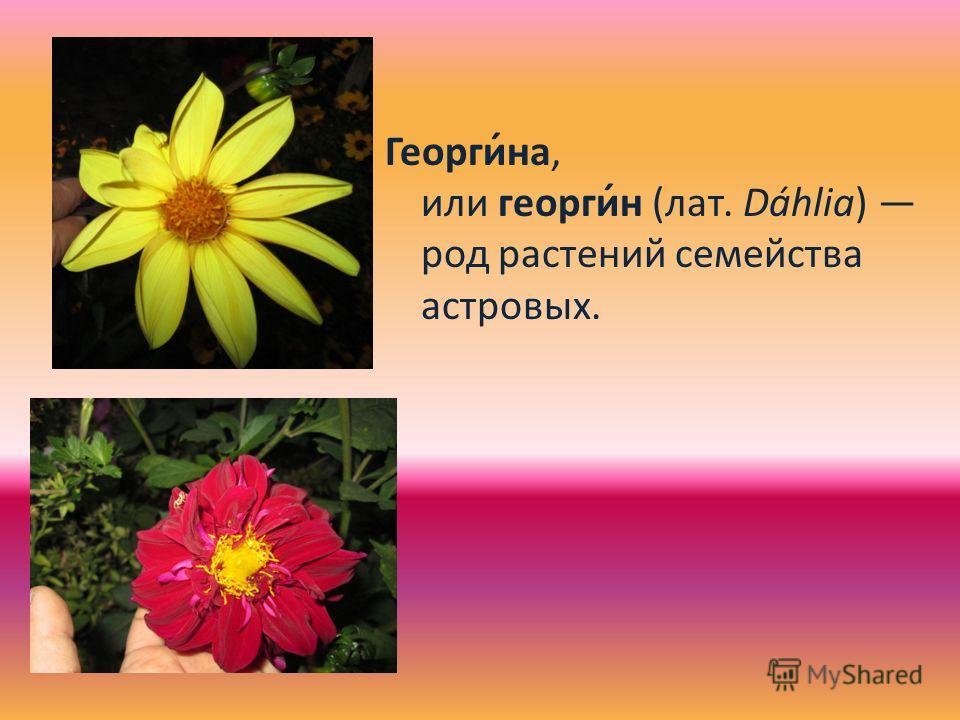 Георги́на, или георги́н (лат. Dáhlia) род растений семейства астровых.