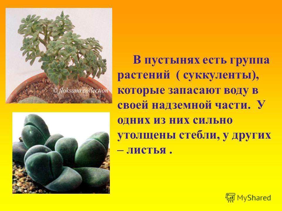 В пустынях есть группа растений ( суккуленты), которые запасают воду в своей надземной части. У одних из них сильно утолщены стебли, у других – листья.
