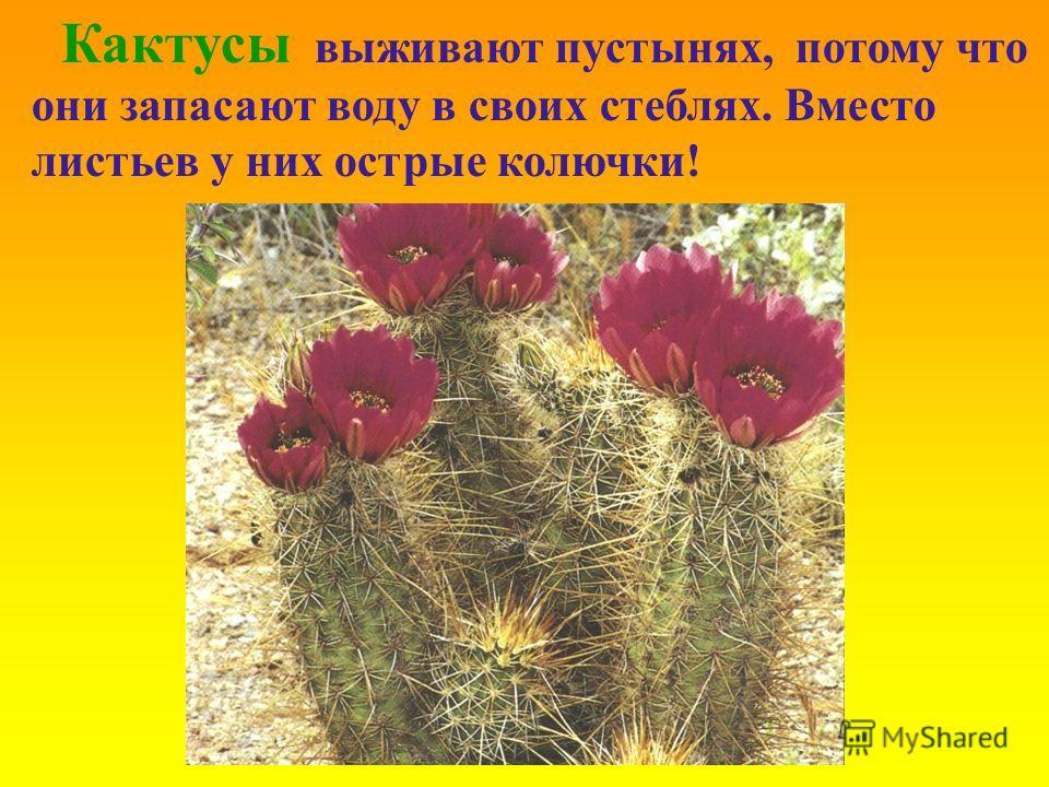 Кактусы выживают пустынях, потому что они запасают воду в своих стеблях. Вместо листьев у них острые колючки!