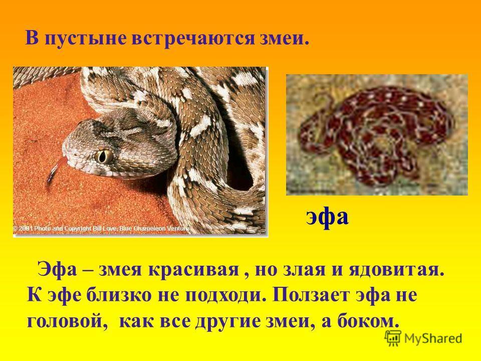 эфа Эфа – змея красивая, но злая и ядовитая. К эфе близко не подходи. Ползает эфа не головой, как все другие змеи, а боком. В пустыне встречаются змеи.
