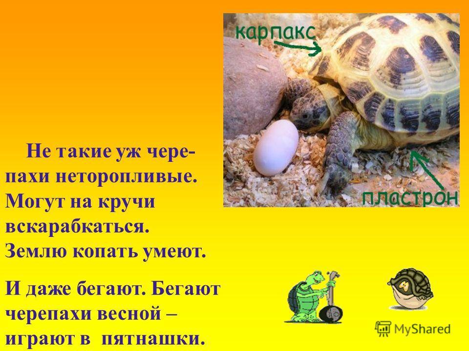 Не такие уж чере- пахи неторопливые. Могут на кручи вскарабкаться. Землю копать умеют. И даже бегают. Бегают черепахи весной – играют в пятнашки.