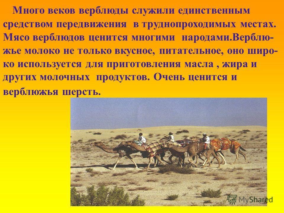 Много веков верблюды служили единственным средством передвижения в труднопроходимых местах. Мясо верблюдов ценится многими народами.Верблю- жье молоко не только вкусное, питательное, оно широ- ко используется для приготовления масла, жира и других мо