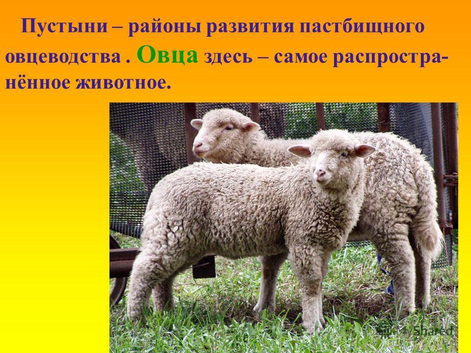 Пустыни – районы развития пастбищного овцеводства. Овца здесь – самое распростра- нённое животное.
