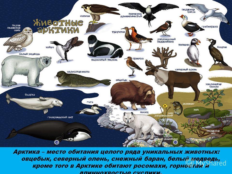 Арктика – место обитания целого ряда уникальных животных: овцебык, северный олень, снежный баран, белый медведь, кроме того в Арктике обитают росомахи, горностаи и длиннохвостые суслики.