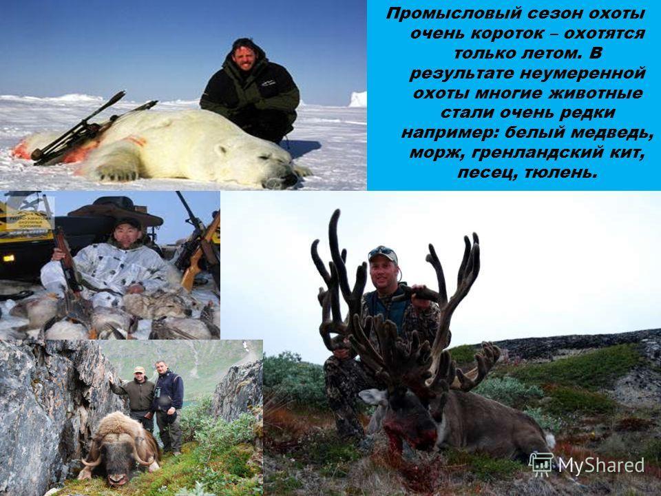Промысловый сезон охоты очень короток – охотятся только летом. В результате неумеренной охоты многие животные стали очень редки например: белый медведь, морж, гренландский кит, песец, тюлень.