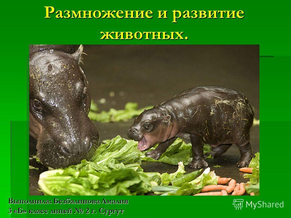 Размножение и развитие животных. Выполнила: Безбалинова Амалия 3 «Б» класс лицей 2 г. Сургут
