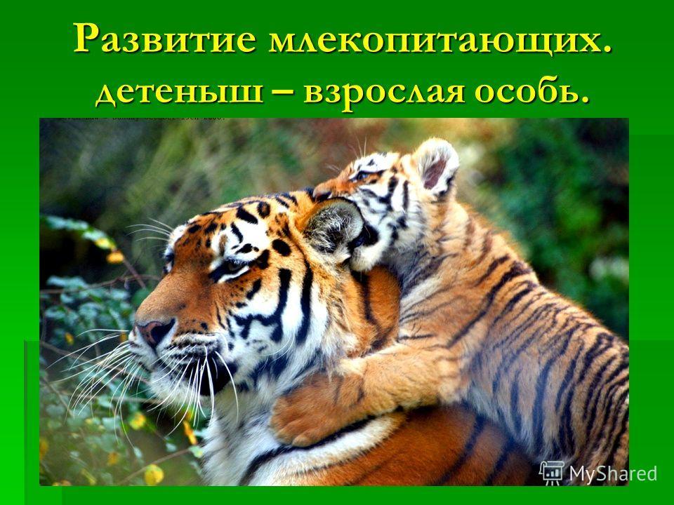 Развитие млекопитающих. детеныш – взрослая особь.
