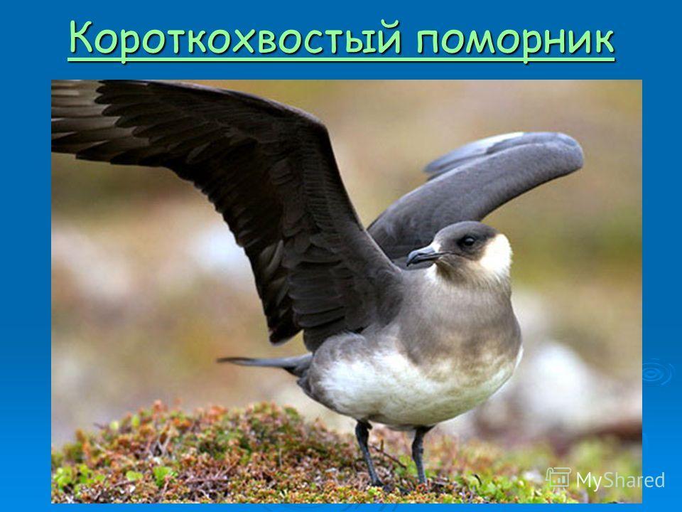 Короткохвостый поморник Короткохвостый поморник