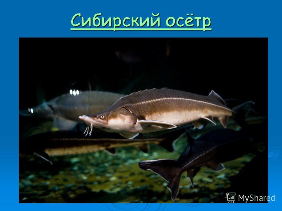 Сибирский осётр Сибирский осётр