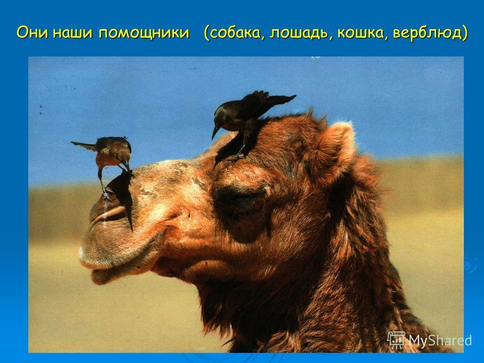 Они наши помощники (собака, лошадь, кошка, верблюд)