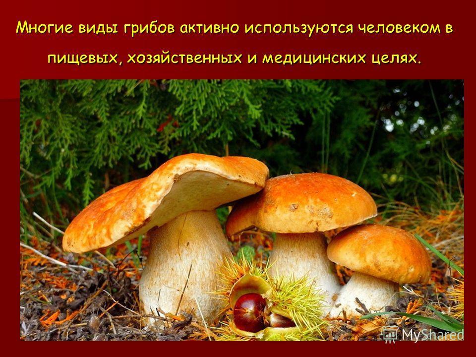 Многие виды грибов активно используются человеком в пищевых, хозяйственных и медицинских целях.