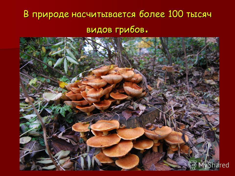 В природе насчитывается более 100 тысяч видов грибов.