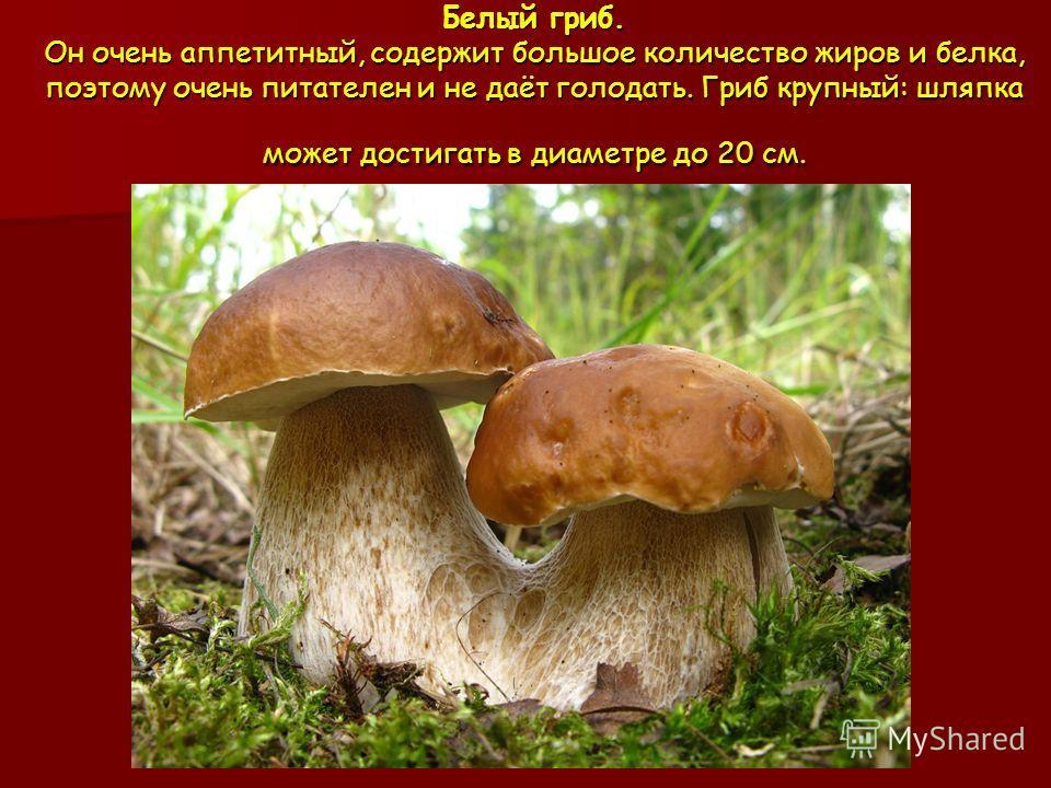 Белый гриб. Он очень аппетитный, содержит большое количество жиров и белка, поэтому очень питателен и не даёт голодать. Гриб крупный: шляпка может достигать в диаметре до 20 см.